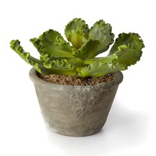 Sonoran Highlands Potted Cabbage Succulent
