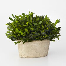 Boxwood Desk Top Plant in Planter