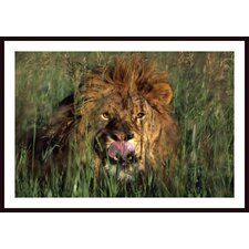 Lion Licking His Lips Wall Art by David Ponton