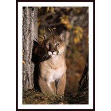 'Mountain Lion' by David Ponton Framed Photographic Print