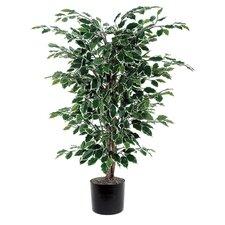 Ficus Variegated Bush Tree