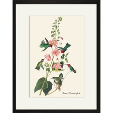 Anna's Hummingbird by John James Audubon Framed Graphic Art