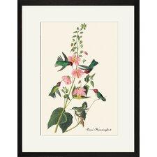 Anna's Hummingbird by John James Audubon Framed Graphic Art