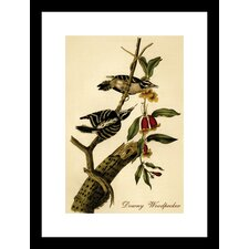 Downy Woodpecker by R.Havell Framed Painting Print