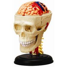 4D Human Anatomy - Cranial Nerve Skull Model