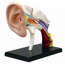 4D Human Anatomy - Ear Model