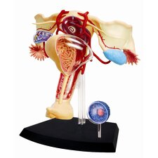 4D Human Anatomy - Female Reproductive System Model