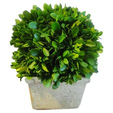 Boxwood Ball Desk Top Plant in Planter