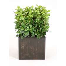 Silk Pittosporum Floor Plant in Planter