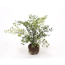 Silk Maiden Hair Fern in Soil (Set of 6)