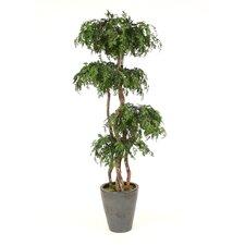 Layered Ming Aralia Tree in Planter