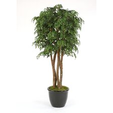 "84"" Ming Aralia Tree in Glazed Rimmed Stoneware Planter"