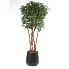 "108"" Ming Aralia Tree in Large Round Outdoor Fiberglass Planter"