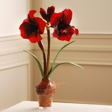Amaryllis in Glass Pot