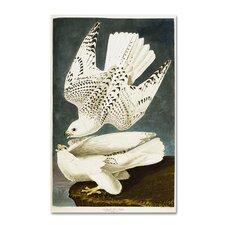 John James Audubon 'Iceland or Jer Falcon' Canvas Art