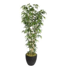 Tall Bamboo Tree in Pot