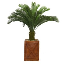 Tall Cycas Palm Tree in Planter