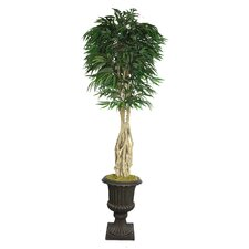 Tall Willow Ficus Multiple Trunks Tree in Urn