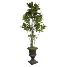 Tall Croton Multiple Trunks Tree in Urn