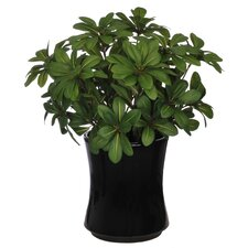Artificial Mini Pittosporem Desk Top Plant in Vase