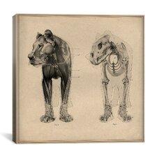 """Animal (Lion) Anatomical Engraving"" Canvas Wall Art by Wilhelm Ellenberger and Hermann Baum"