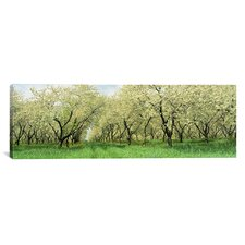 Panoramic Rows of Cherry Tress in an Orchard, Minnesota Photographic Print on Canvas
