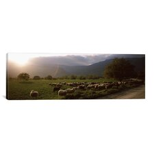 Panoramic Flock of Sheep Grazing in a Field, Feneos, Corinthia, Peloponnese, Greece Photographic Print on Canvas