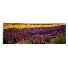 Panoramic Lavender and Yellow Flower Fields, Sequim, Washington Photographic Print on Canvas