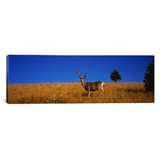 Panoramic Side Profile of a Mule Deer Standing in a Field, Montana Photographic Print on Canvas