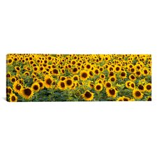 Panoramic Sunflowers (Helianthus annuus) in a Field, Bouches-Du-Rhone, Provence, France Photographic Print on Canvas