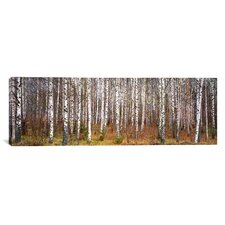 Panoramic Birch Trees in a Forest, Narke, Sweden Photographic Print on Canvas