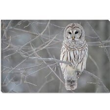<strong>iCanvasArt</strong> Barred Owl on Branches Photographic