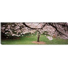 Cherry Blossom Tree in a Park, Golden Gate Park, San Francisco, California Canvas Wall Art