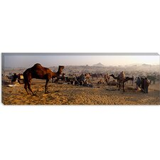 Camels in a Fair, Pushkar Camel Fair, Pushkar, Rajasthan, India Canvas Wall Art