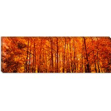 Aspen Trees at Sunrise in Autumn, Colorado, USA Canvas Wall Art