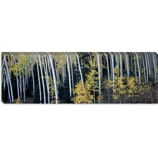 <strong>iCanvasArt</strong> Aspen Trees in a Forest, Aspen, Pitkin County, Colorado, USA Canvas Wall Art