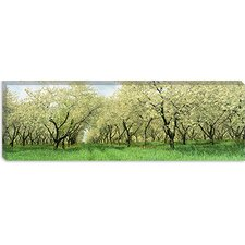 <strong>iCanvasArt</strong> Rows of Cherry Tress in an Orchard, Minnesota Canvas Wall Art