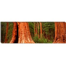 <strong>iCanvasArt</strong> Giant Sequoia Trees in a Forest, California Canvas Wall Art