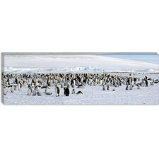 Emperor Penguins at Snow Hill Island, Antarctica Canvas Wall Art