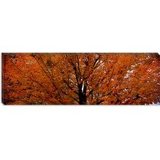 <strong>iCanvasArt</strong> Maple Tree in Autumn, Vermont Cancas Wall Art