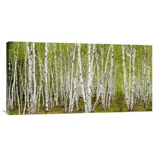 'White Birch Grove with Spring Foliage, Canada' by Don Johnston Photographic Print on Canvas