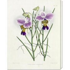 'The Orchid Album Plate 475' by Robert Warner Stretched Canvas Art