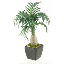 Miniature Mascaran Tree in Planter