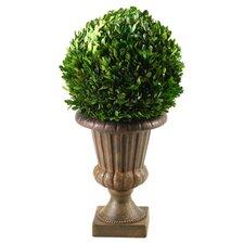 Preserved Boxwood Ball Desk Top Plant in Pedestal Urn