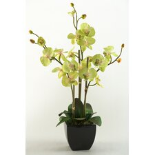 Phael Orchids in Ceramic Planter