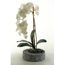 Phael Orchids in Round Stone Planter