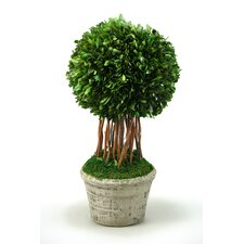 Preserved Boxwood Ball Topiary in  Planter