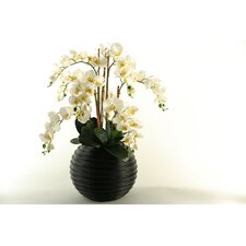 Touch Phalaenopsis Orchids in Contemporary Resin Planter