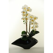 Phalaenopsis Orchids in Contemporary Resin Planter