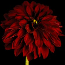 Graham and Brown Dahlia Photographic Print on Canvas